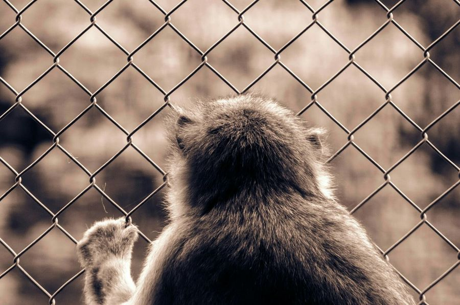 Watched this sad little guy for a while. He looked really sad Monkey Animals Zoo Freedom Talking Photos Yearning Behind Behind The Bars Nature Prison Selective Focus Daytrip Sepia Outdoors Fence On The Other Side Grass Is Always Greener On The Otherside!