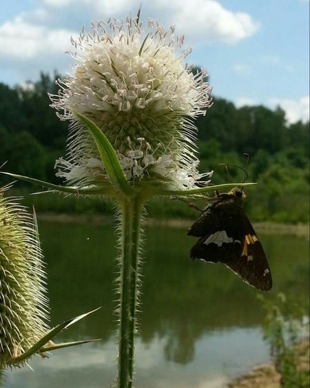 Thistle Thistles Weeds Are Beautiful Too Wildflowers River Water Nature Butterfly Clouds And Sky Reflection Ohio, USA Cambell Lake