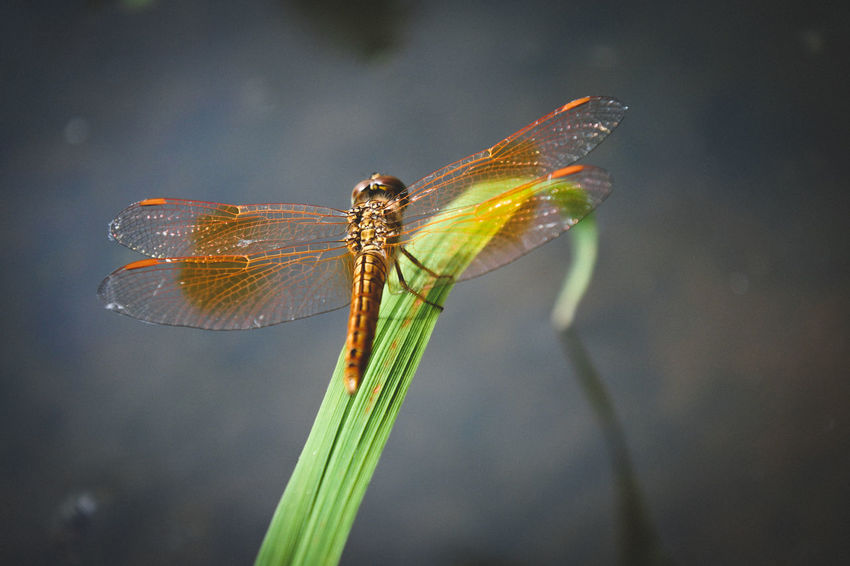 Orenge Dragonfly on long grass leaf Damselfly Splashing Droplet Insect Close-up Animal Themes Dragonfly Butterfly - Insect Fly Housefly Winged Pest Animal Antenna Animal Markings Symbiotic Relationship Invertebrate Pollination Lantana Magnification Animal Wing Mosquito Arthropod