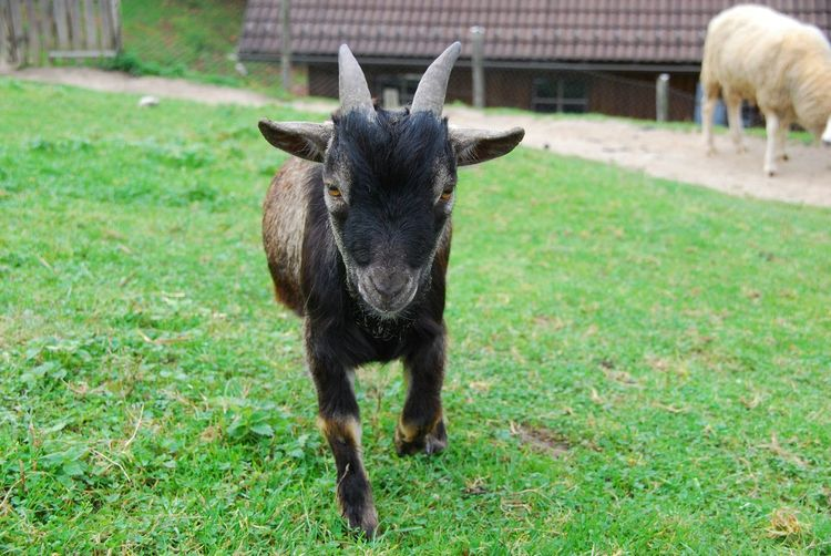 Portrait of goat standing on field