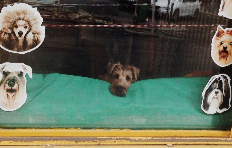 Cute Animal Themes Cute Pets Dog Looking At Camera One Animal Saloon Grooming Window Pets