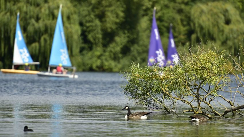 Animals In The Wild Water Animal Themes Beauty In Nature Nature Lake Sailing Boats Sailing Club Broxbourne Sailing Club Canadian Geese Breathing Space