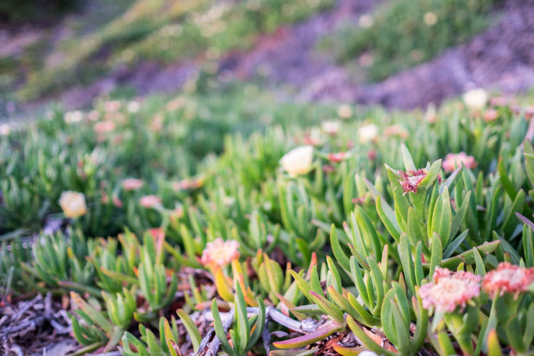 Beach Beauty In Nature Blossom Botany California Field Flower Flower Head Fragility Freshness Green Growing Growth ICE PLANT Ice Plants In Bloom Nature Plant Season  Springtime Uncultivated Wildflower