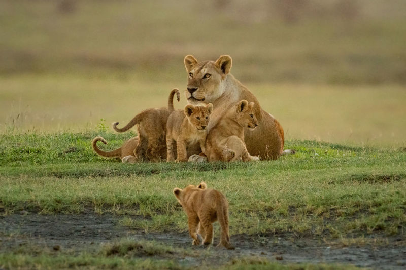 Cub walks towards others lying by lioness
