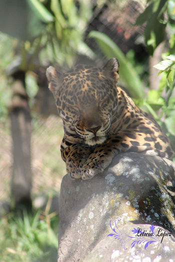 Animals In The Wild El Salvador Fureza Guepardo Jungle