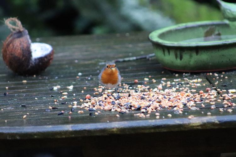 Robin enjoying some much needed nutrition in Belgium, Winter 2018 Belgium Voerde Beauty In Nature Belgie Bird Birdfeeder Birdfeeders Birds Garden Red Robin Robin Roodborstje Roodborstjes Tijd Voor Lente Time For Spring Vogels Vogelvoer