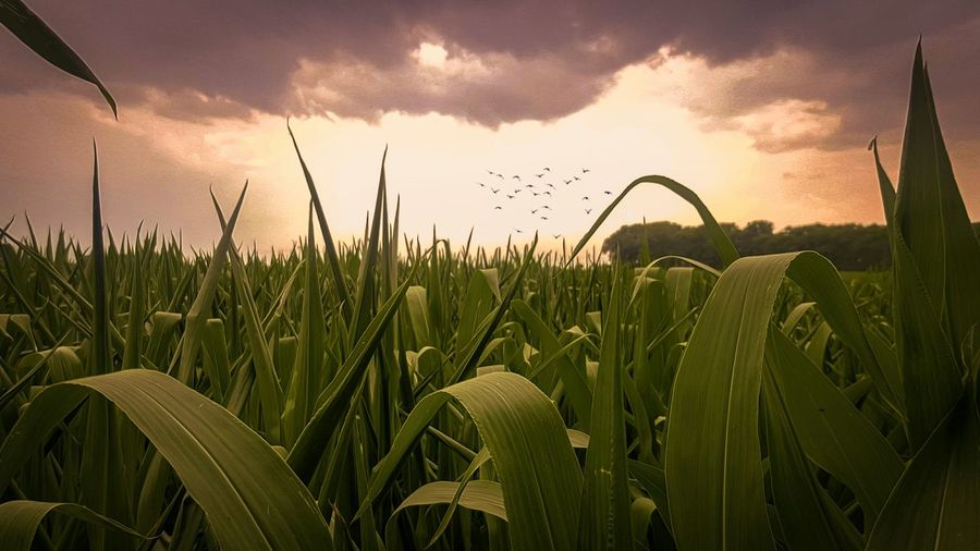 Close-up of crops growing on field against sky during sunset