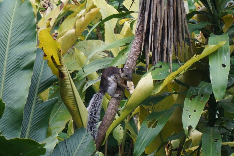 Green Leafs Nature Squirrel Tree Trees Forest Squirl Squirrel Eating Squirrel Eating Banana
