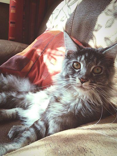 Joy. Maine Coon Cat Kitten Chat Love Animal