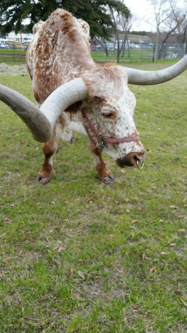 animal themes, one animal, domestic animals, field, livestock, no people, mammal, day, grass, nature, outdoors, close-up