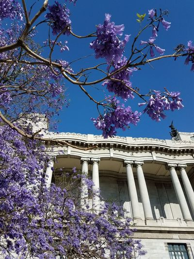 Purple trees on Mexico City, this one in front of the Bella Artes Bella Artes Mexico City Nature_perfection Stunning Nature Purple Flower Purple Tree Nature And City Mexico