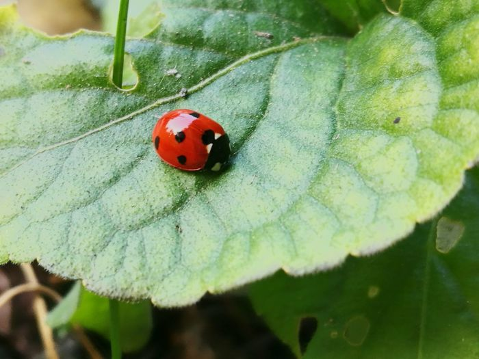 Ladybug Insect Animal Themes Animals In The Wild One Animal Red Wildlife Nature Close-up Day No People Outdoors Spotted Plant Beauty In Nature Fragility Capturing Life Nature Is Art Tranquility Scene Leafmania Leaf Photography Ladybugluck Ladybuglovers Captured Moment Tranquility