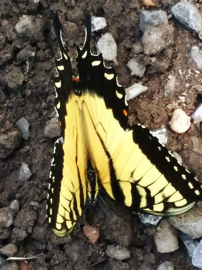 Beauty In The Little Things Colors Yellow And Black It's Summer Time When You See These Beautiful Butterflies. Leaf High Angle View Close-up Butterfly - Insect Butterfly Animal Antenna Wildlife Animal Wing Pollination Insect