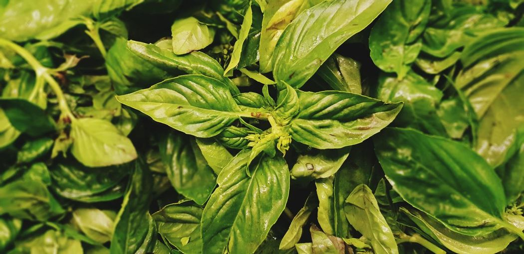 Basil ready for pesto Basil Flower Head Leaf Flower Plant Part Social Issues Agriculture Alternative Medicine Close-up Plant Green Color Pesto Sauce Herb
