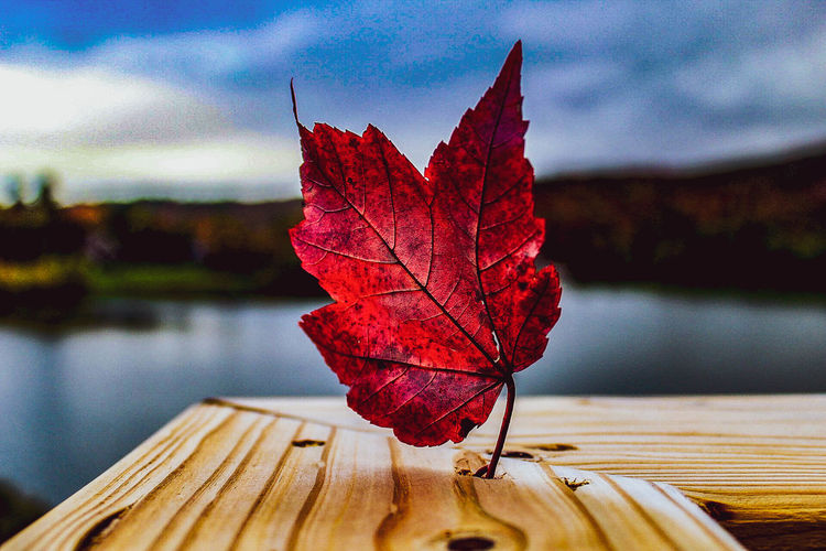 Close-up of red maple leaf on tree by lake against sky