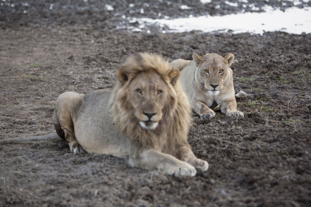 Portrait Of Lion And Lioness Sitting On Field
