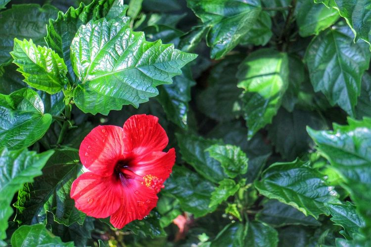 red flower Leaf Plant Flower Red Nature Beauty In Nature Petal Green Color Close-up Flower Head Freshness Outdoors Day Micro Red Flowers Nature Plant Philippines