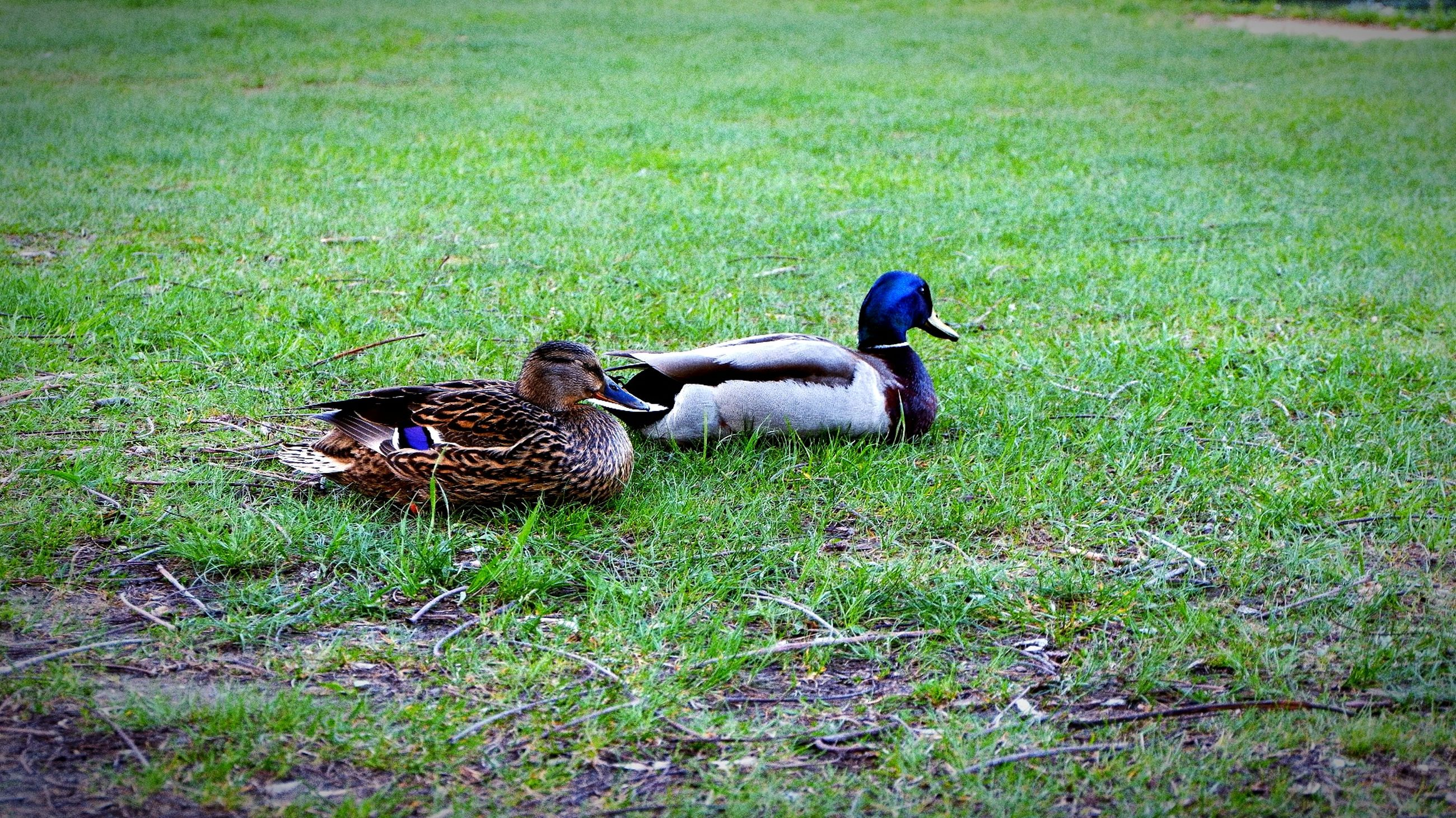 grass, bird, animal themes, vertebrate, animal, plant, animals in the wild, field, land, group of animals, animal wildlife, duck, poultry, green color, nature, no people, two animals, day, mallard duck, male animal, outdoors, animal family