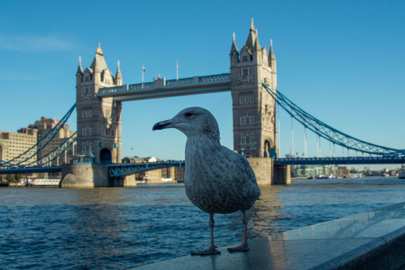 Seagull close up on south bank of the thames in foreground river thames and tower bridge background
