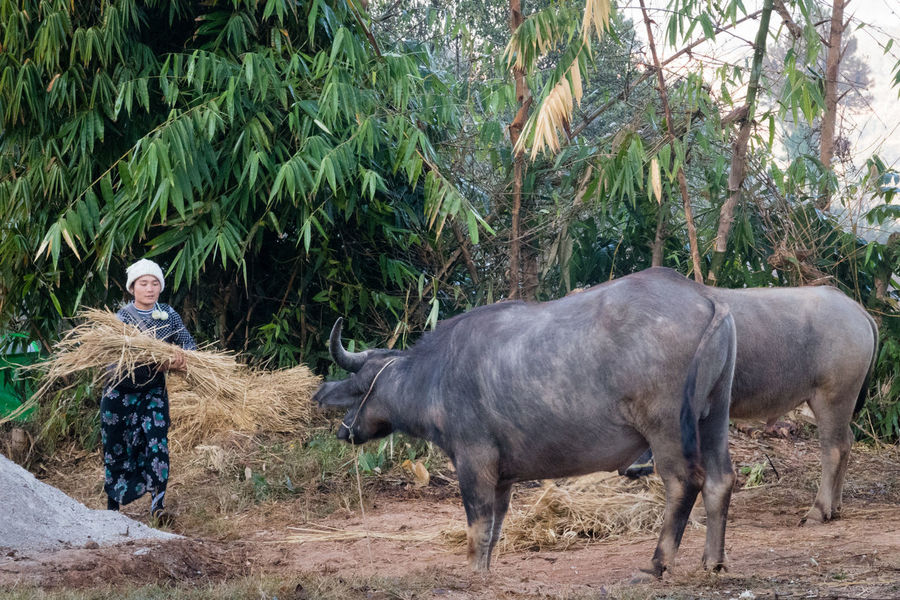 Agriculture Bamboo Buffalo Buffaloes Burning Country Day Domestic Animals Farm Kalaw To Inle Lake Lifestyles Livestock Myanmar Nature Outdoors Real People Trek Kalaw-inle