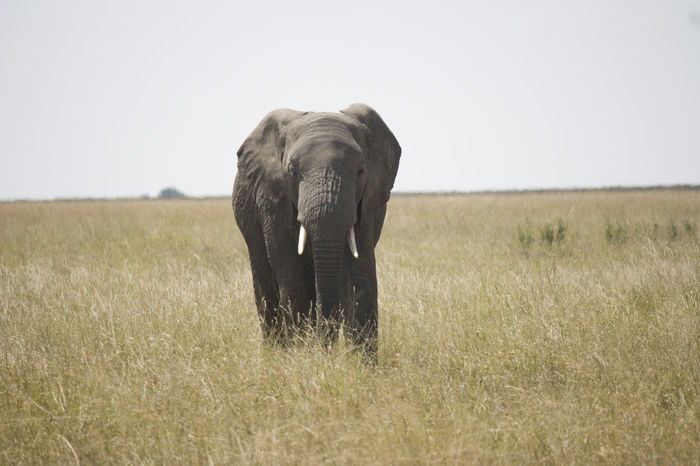 Alone Animal Themes Animals In The Wild Day Elephant Front View Grass Mammal Safari Animals