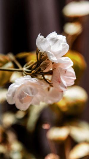Bokeh Photography Nikon Bokeh EyeEm Selects EyeEm Best Shots Brown Flower Flower Head Gift Close-up Rose - Flower In Bloom Pollen Single Rose Petal Plant Life Stamen Cosmos Flower Stem