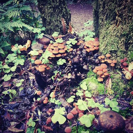 Redwoods California Growth Fungus Occidental Mushroom Cap Caps Mushroom Hunting Mushroom Toadstools Clovers  Mushrooms And Clovers Nature Growth if you look closely you can see all the dead black mushrooms mixed with the new ones growing...