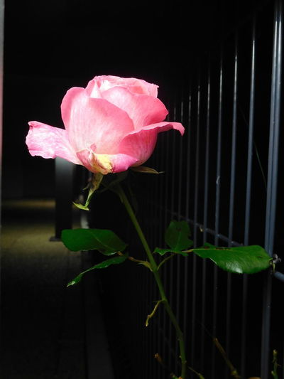 Alone Autumn City Beautiful Colors Beauty In Nature Blooming City Lights Close-up Evening Flower Flower Head Fragility Freshness Garden Growth Leaf Nature Night No People Outdoors Petal Pink Color Plant Rose🌹 Wire Fencing