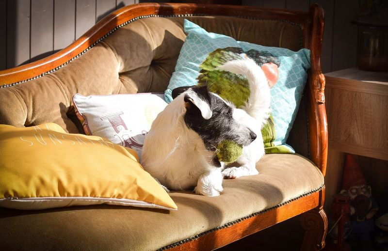 Jack russell terrier carrying ball in mouth while lying on chaise longue at home