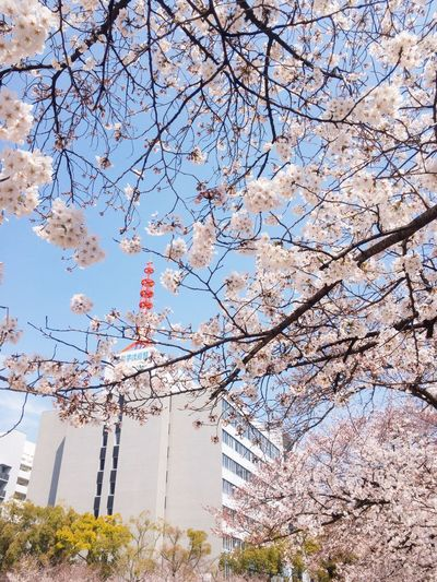 Sakura2018 Cherry Blossoms Tree Low Angle View Blossom Growth Flower Beauty In Nature Stories From The City