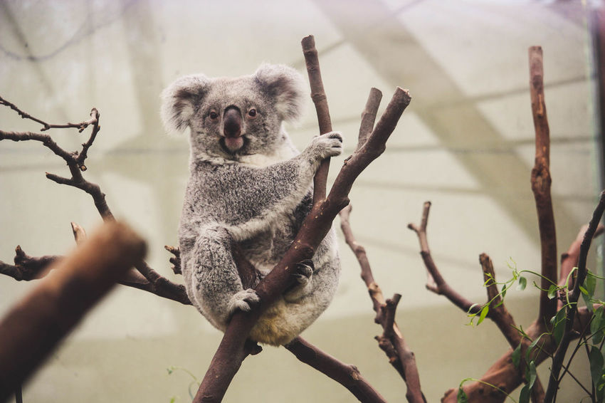 Planckendael Zoo Animal Animal Themes Animals Koala Looking At Camera One Animal
