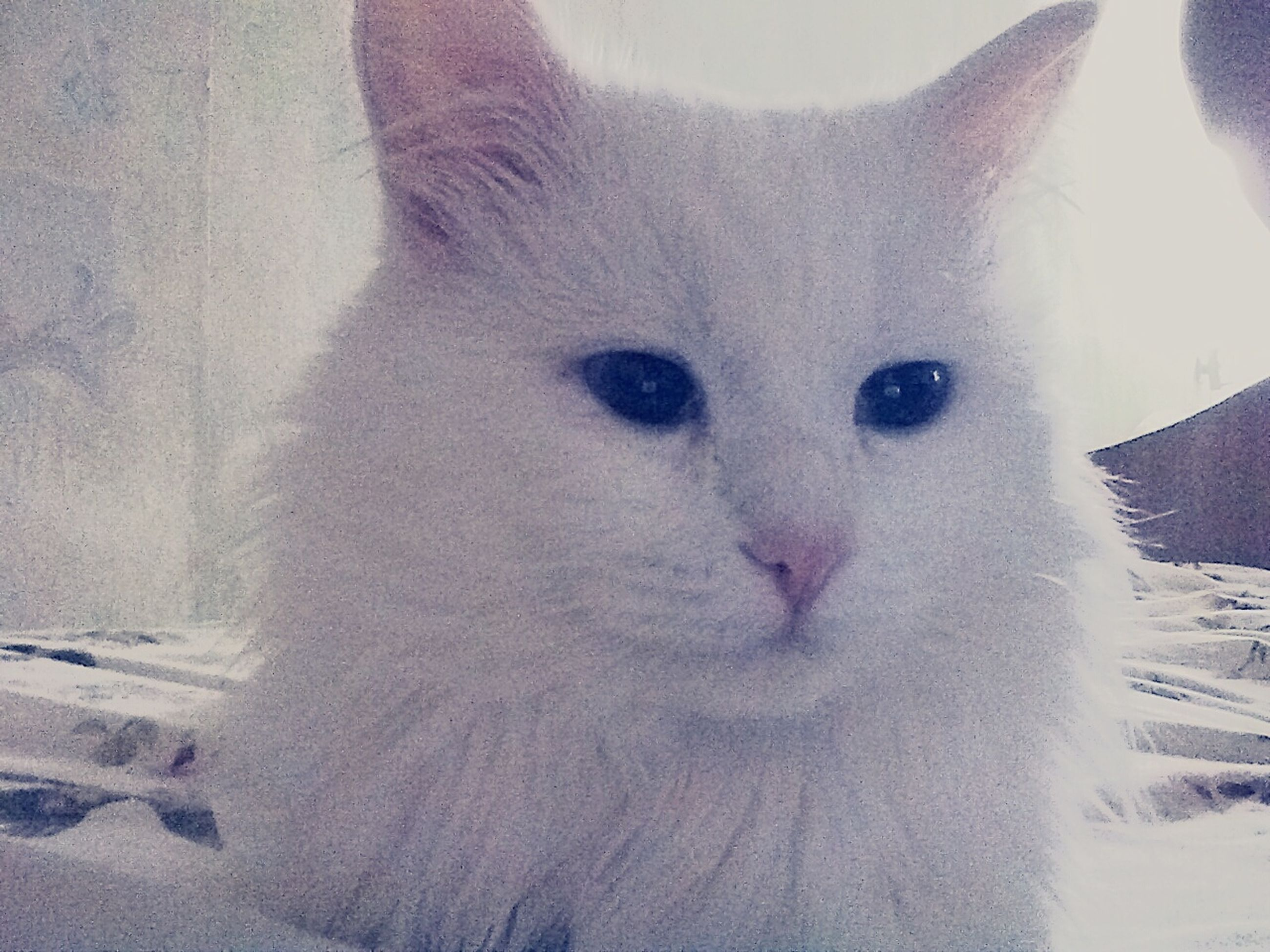 one animal, pets, domestic animals, animal themes, snow, cold temperature, winter, mammal, domestic cat, white color, cat, feline, season, close-up, portrait, looking at camera, weather, no people, white, covering