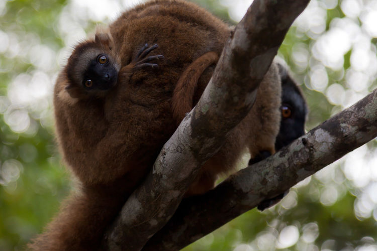 Female red-fronted brown lemur carrying an infant. Seen at Akanin 'ny Nofy, Madagascar. Eulemur Rufifrons Cute Pets Canonphotography Ankanin'Nofy Lemur With Baby Akanin 'ny Nofy Madagascar Lemur Madagascar  Endangered Species Portrait Looking At Camera Close-up Primate Lemur Threatened Species