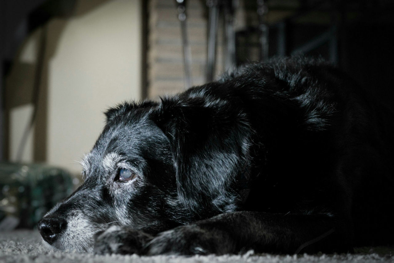 dog, pets, domestic animals, one animal, animal themes, mammal, indoors, no people, lying down, close-up, day, portrait