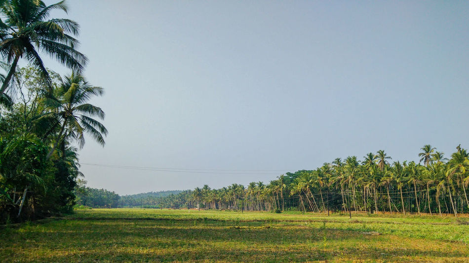 Outdoors Agriculture Coconut Palm Tree No People Beauty In Nature Morning Paddy Field Kerala South India