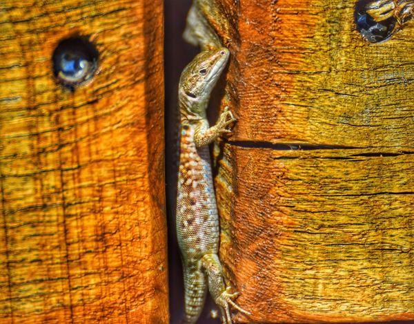One Animal Animal Themes Portrait Pet Portraits Lizard Lizard Watching