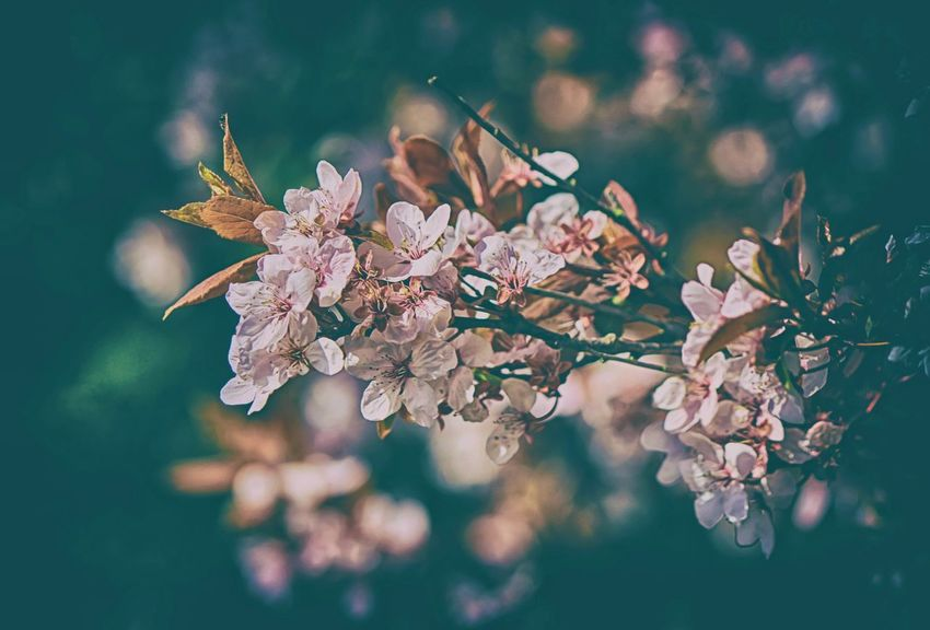 Blossom Beauty In Nature Blossom Cherry Blossom Cherry Tree Flower Flower Head Flowering Plant Fragility Freshness Growth Nature No People Outdoors Petal Pink Color Selective Focus Springtime Tree