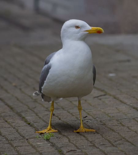 He is now a pedestrian. Beak Paving Stone Looking Nature Sea Bird Outdoors Close-up Footpath Full Length White Color Focus On Foreground Perching Day Seagull No People One Animal Animal Wildlife Animals In The Wild Animal Vertebrate Animal Themes Bird