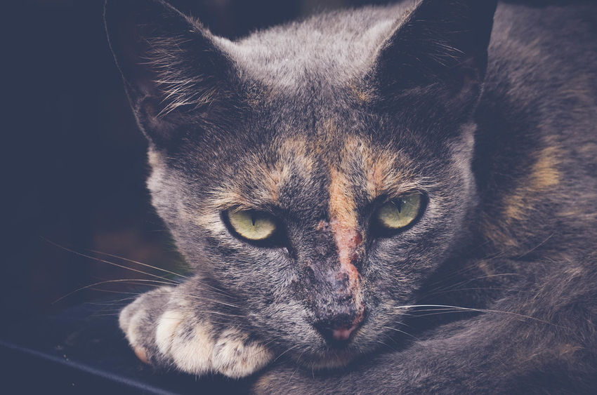 Animal Themes Barncat Close-up Day Domestic Animals Domestic Cat Feline Feral Cat Looking At Camera Mammal No People One Animal Pets Portrait Whisker