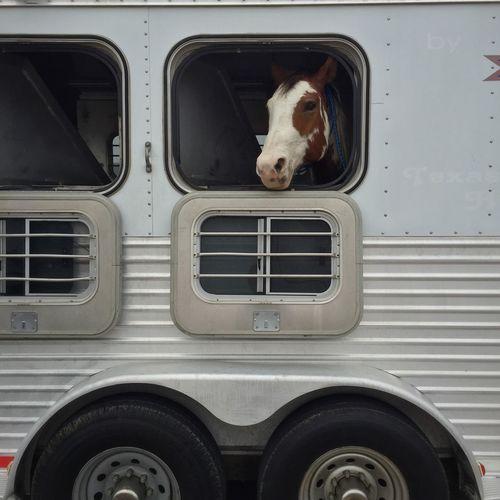 Horse in truck looking through window