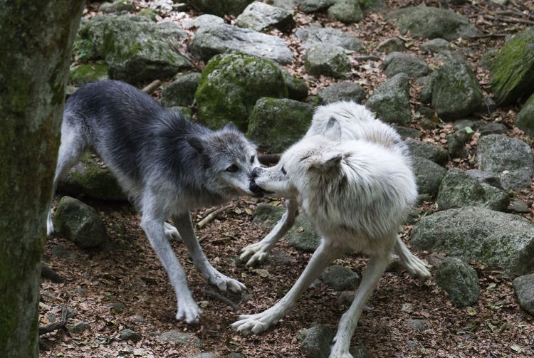 Tug o' war France Orlu Wolf Sanctuary Pyrenees Day Nature No People Outdoors Two Animals WOlves Wildlife Wolf