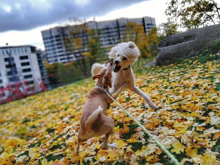 Autumn Playing Dogs Podenco Andaluz Play Animal Dog Pets Tree Sky Autumn Animal Themes No People Outdoors Day Domestic Animals Poodle