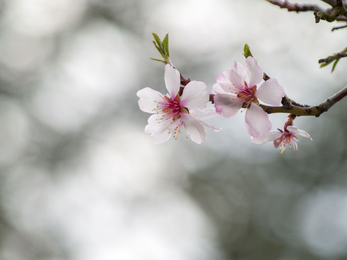 Agriculture Almond Tree Almond Tree In Blossom Copy Space EyeEm Best Shots EyeEmNewHere Backgrounds Beauty In Nature Blooming Blossom Botany Branch Cherry Blossom Cherry Tree Close-up Color Day Delicacy Delicate Environment Floral Floral Frame Flower Flower Head Flowering Plant Flowerporn Fragility Freshness Fruit Tree Fruit Trees Growth Inflorescence Nature No People Orchard Outdoors Petal Pink Color Pink Flower Plant Plantation Pollen Spring Springtime Tree Vulnerability