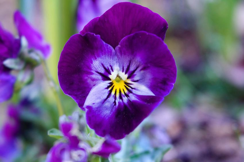 Heart Shape Pansy Flower Petal Beauty In Nature Nature Purple Growth Fragility Plant Flower Head Close-up Freshness No People Blooming Outdoors Pansy Day EyeEmNewHere Purple Pansy Purple Pansies Heart Shape Flower Heart Shape Purple Heart Love Heart Purple Flower Close Up Purple Flower