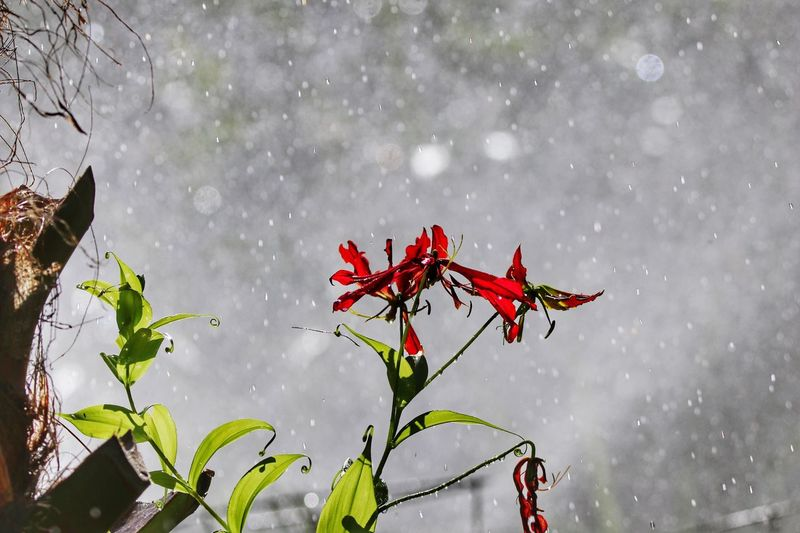 Gloriousa Lily Raindrops Raining Nature Red Day Leaf Beauty In Nature Fragility No People Freshness Growth Water Outdoors Plant Flower Close-up Flowers Flowers,Plants & Garden Flowers, Nature And Beauty