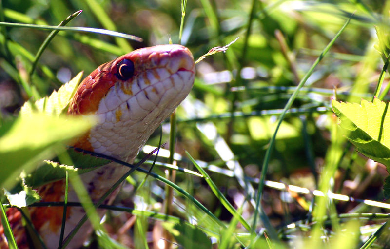 Snake Animal Animal Themes Animal Wildlife Animals In The Wild Close-up Cornsnake Day Focus On Foreground Green Color Growth Invertebrate Leaf Nature No People One Animal Outdoors Plant Plant Part Selective Focus Vertebrate