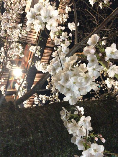 Sakura Kyoto Springs Cherry Blossoms Kyoto Spring Flower Kyoto Night Sakura Kyoto NIght Lights Kyoto Sakura 2018 Kyoto City Sakura Kyoto,japan Flower Fragility Blossom White Color No People Nature Stories From The City