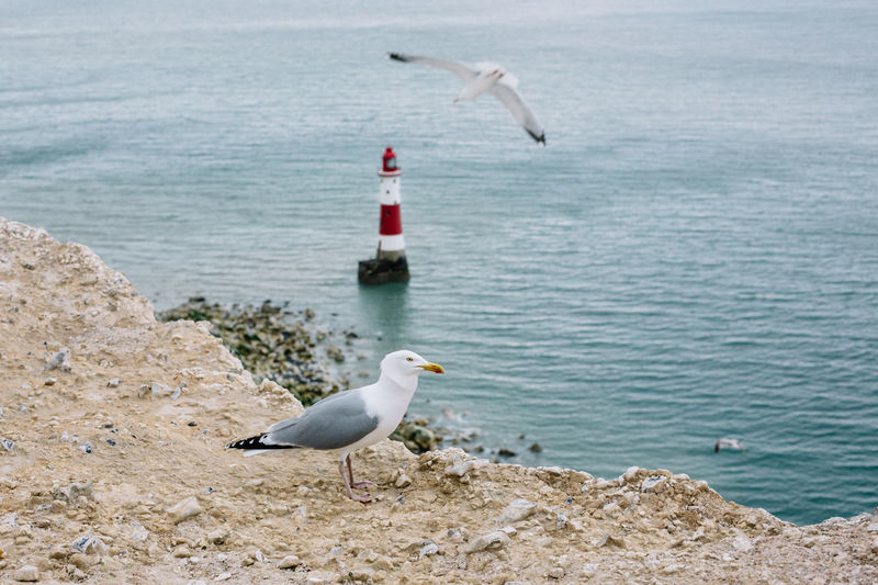 Animal Themes Animal Wildlife Animals In The Wild Beach Beachy Head Bird Brighton Day Flying Great Britain Lighthouse Lighthouse_lovers My Year My View Nature No People One Animal Outdoors Sea Sea Bird Seagull Sky Water White Seagull Lost In The Landscape Be. Ready.
