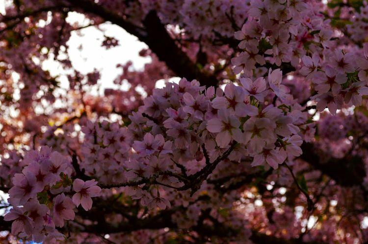 Multipinkation. Flowerporn Pantone Colors By GIZMON Flowers