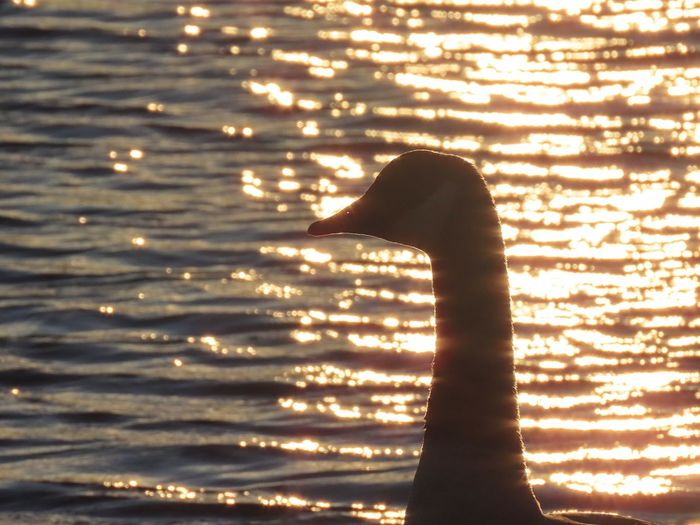Sunset silhouette Canada goose water reflections ripples birdwatching birds of EyeEm beauty in nature outdoors animal themes Animal Wildlife Water Animal Neck Sunset No People